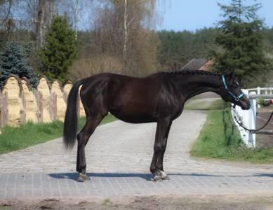 Magnifique noir jument