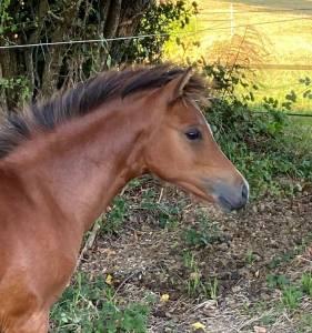 Pouliche welsh pony