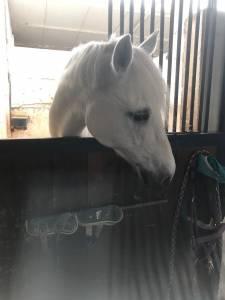 Vendesi Pony Connemara del 2009