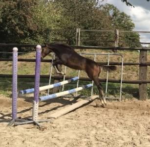 Foal male sf