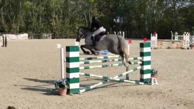 Cheval de Sport Danois A vendre 2013 Gris