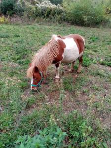 Other Pony Breed For sale 2009 Coloured
