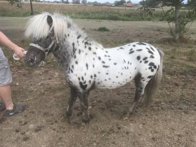 Spotty poney appaloosa