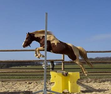 Garou de faite : saillie etalon poney onc 1m28 pie