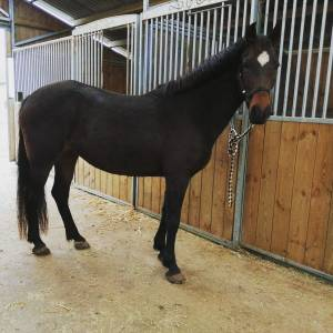 French Saddle Pony For sale 2016 Bay by ROCOCO DU THUIT CO