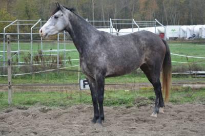 Eleveur vd f 5 ans grise, 155cm environ, cce,cso,dr,
