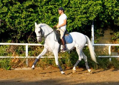 Race de Chevaux Inconnue A vendre 2008 Gris