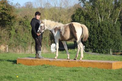 Poulain paint horse grullo tovero