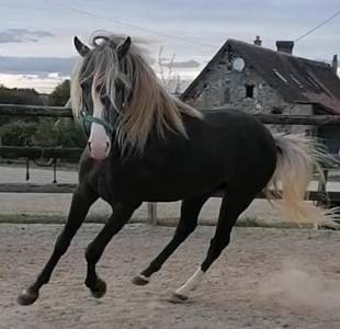 Saillie Rocky Mountain Horse homozygote silver