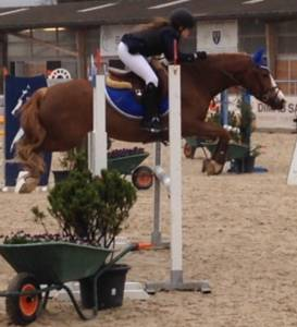 Welsh Pony (Section C) Te koop 2009 Vos ,  MACHNO CARWYN