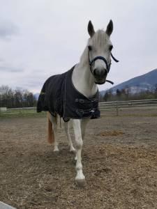 French Saddle Pony For sale 2008 Grey