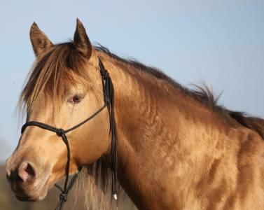 saillie Quarter horse fondation Champagne Amber
