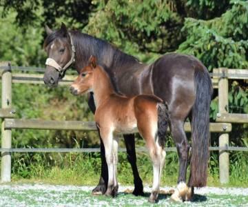 Poulain poney francais de selle 1 ans