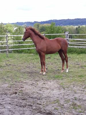 BWP Belgian Warmblood For sale 2020 Grey by Hickstead White