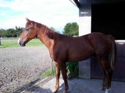 Yearling  BWP (Hickstead White Russel ll Nonstop )