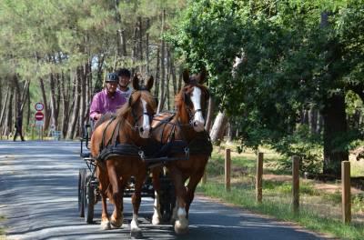 A vendre paire de chevaux d'attelage