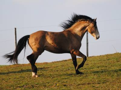 Emmh magic aragon de amor : etalon morgan horse isabelle en bretagne
