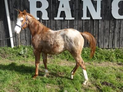 Ricky du tr - paint horse 2020 (m)