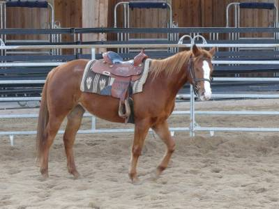 Z hapiness celbration - quarter horse 2018 (f)