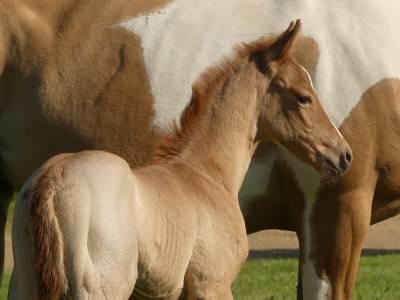 Nina du tr - paint horse 2020 (f)