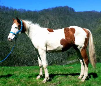 Paint horse mâle pp