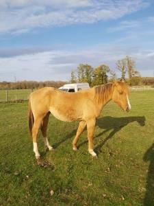 Cheval quarter horse pp