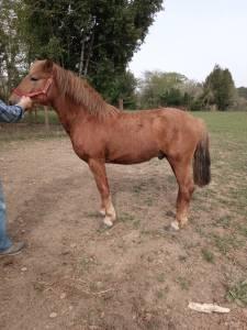 A vendre poney pottok