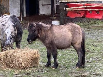 Jeune poney shetland
