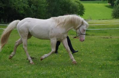 étalon quarter horse pp aqha et sire