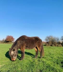 Ponette shetland a confier pour retraite et compagnie