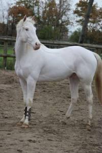 Ice sugar cat : paint horse pie maximum