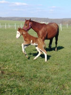 Magnifique poulain paint horse pp