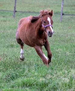 Cb candy  n rozes pouliche quarter horse 2020