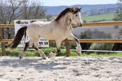 Magnifique poney welsh cob