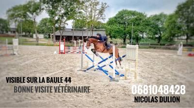 Jeune cheval de sport idéal concours