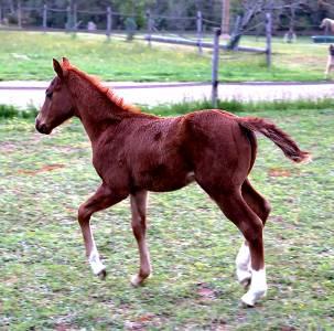 Cb shiny gun poulain male quarter horse reining 2021