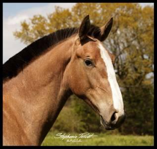 Jeune cheval modèle baroque