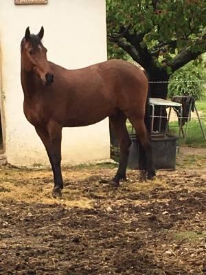 cheval arabe /barbe