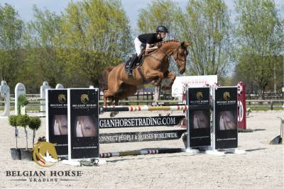 BWP Cavallo da Sangue Belgio In vendita 2015 Sauro
