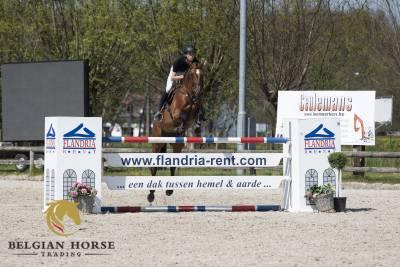 BWP Cavallo da Sangue Belgio In vendita 2015 Baio