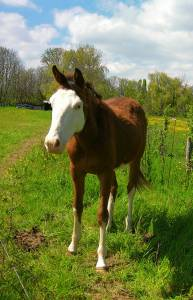 Poulain overo oc 2019 origine paint horse