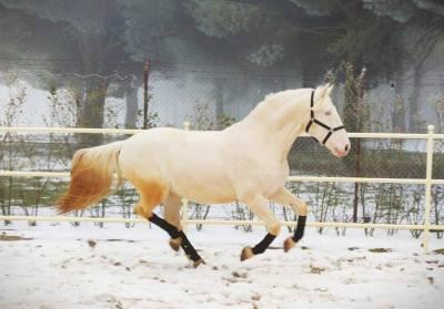Juncal - lusitanien p/p pour équitation de loisirs