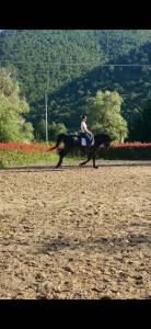 Cavallo Baio Scuro,Franco-Belga,del 2012,addestrato