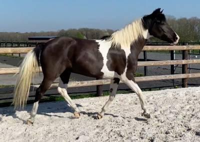 Magnifique poney pie - tout niveau