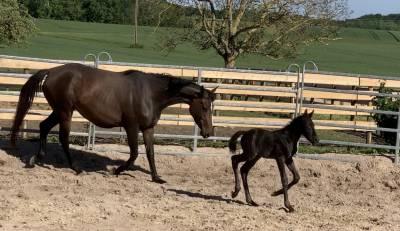 Foal (conrad/quick star/ diamant / apache d'adrier)