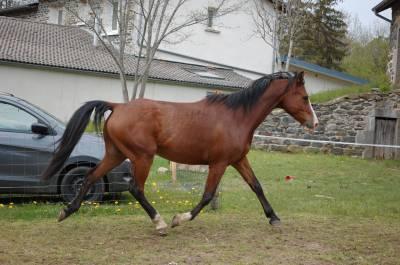 Cabalpur de lis cheval shagya