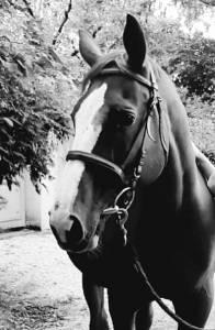 A vendre cheval sf 20 ans