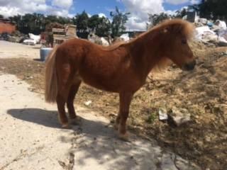 Particular vende pony acostumbrado a ser montado