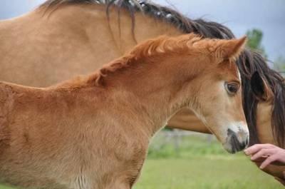 Welsh cob, foal