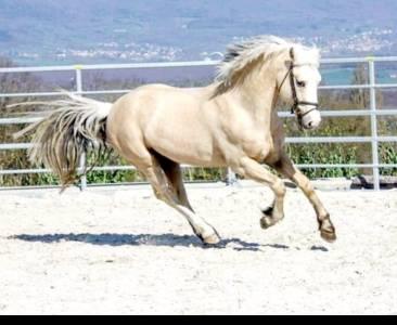 Magnifique poney idéal cso dressage loisir tous niveaux